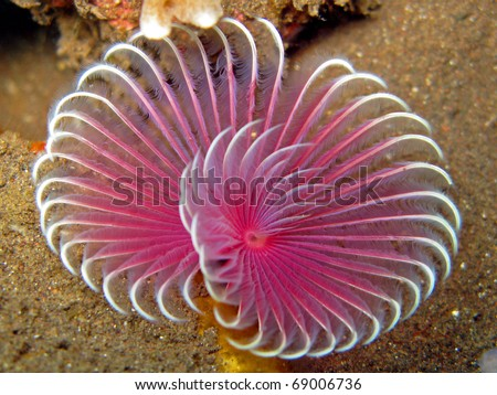 Pink Feather Duster Worm (Sabellastarte indica)
