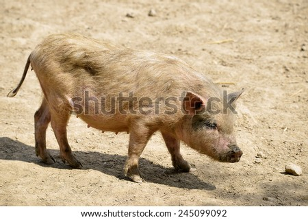 Pink female piglet (Sus) on ground and seen from profile - stock photo