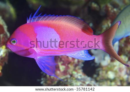 pink fish closeup