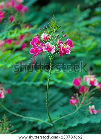 pink flame tree flowers with green leaf background. - stock photo