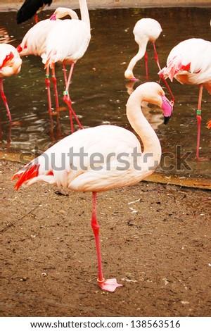 pink flamingo bird - stock photo