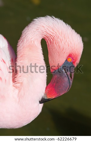 Pink flamingo close-up head detail - stock photo