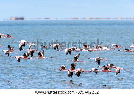 Pink flamingo in Namibia