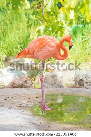 Pink flamingo near the pond in national park. Phoenicopterus ruber