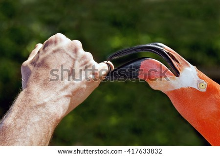 Pink flamingo playing with a ring on a man's finger.