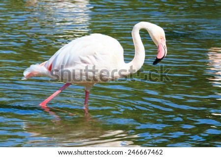 Pink Flamingo, wading in the water. - stock photo