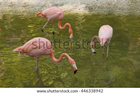 Pink flamingos swimming and resting in a lake