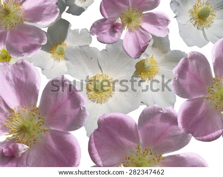 Pink flower and white flower on a white background - stock photo
