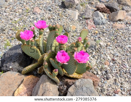 Pink flower  Blossoming cactus  in the desert - stock photo