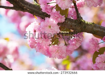 pink flower, cherry blossom at spring closeup - stock photo