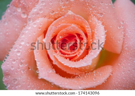 Pink flower close-up as pattern abstract - stock photo