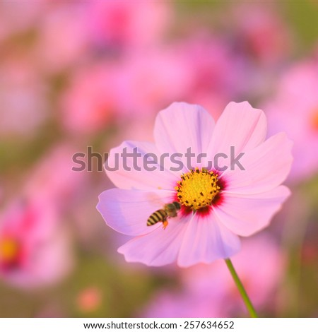 pink flower daisy and bee under sunlight in spring morning  - stock photo
