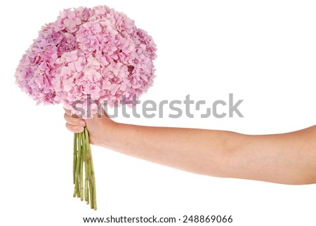 Pink flower hydrangea in hands on white background. Clipping path inside - stock photo