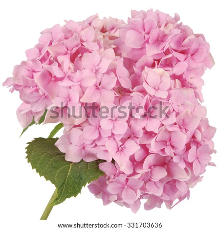 Pink flower hydrangea on white background. Clipping path inside