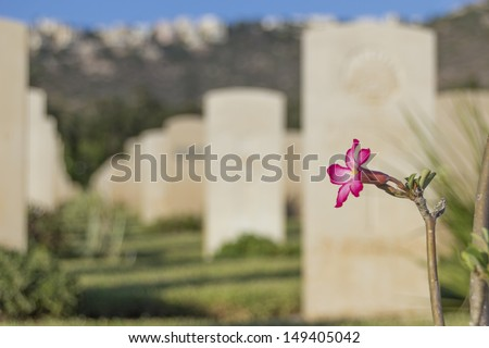 pink flower in an old war cmetery - stock photo