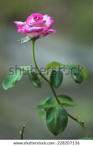 Pink flower in garden - stock photo