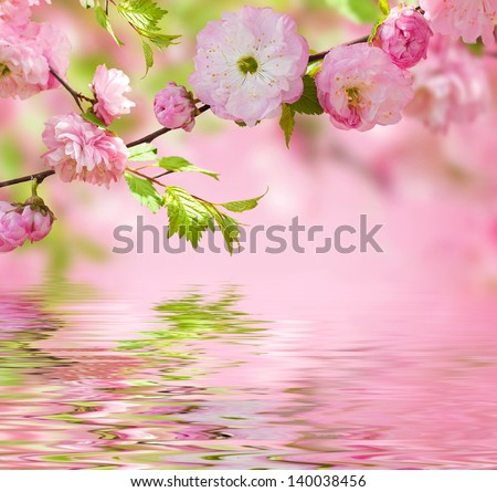 Pink flower of an Oriental cherry in a spring garden, water - stock photo
