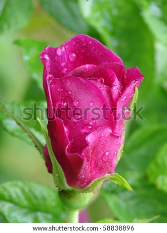 Pink flower of dog-rose with dew drops - stock photo