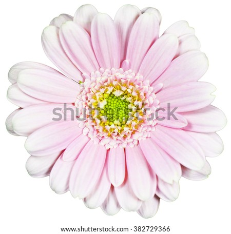 Pink flower on isolated background - stock photo