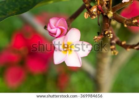Pink flower on Plumeria tree. - stock photo
