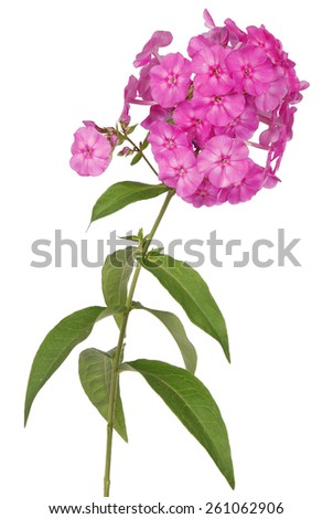 Pink flower phlox on white background. Clipping path inside - stock photo