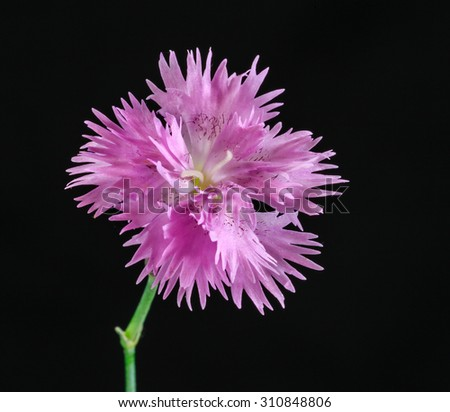 Pink flower with black background