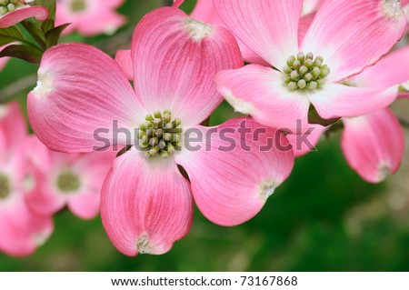 Pink Flowering Dogwood flower close-up - stock photo