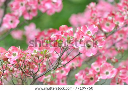 Pink flowering dogwood flower clusters - stock photo