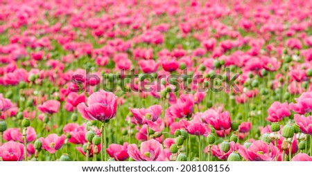 Pink flowering Opium Poppy or Papaver somniferum plants and their seed capsules. - stock photo