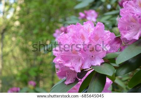 Pink flowering rhododendron bush big pink stock photo download now pink flowering rhododendron bush with big pink flowers mightylinksfo