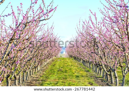 Pink flowering spring trees at an orchard - stock photo