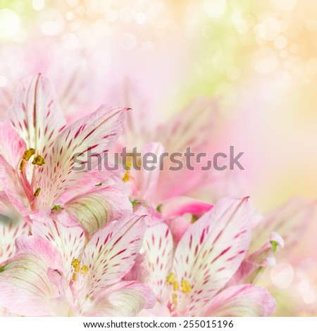 Pink flowers alstroemeria on soft bokeh background - stock photo