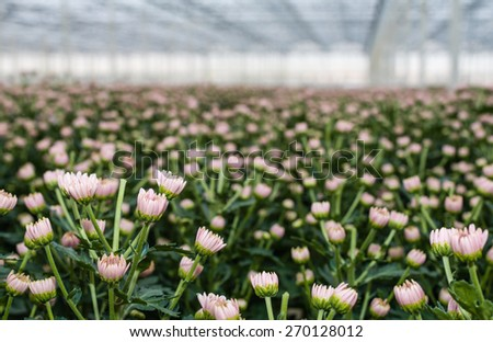 Pink flowers and buds of a great number of pinched Chrysanthemum plants in the glasshouse of a specialized cut flower nursery in the Netherlands. - stock photo