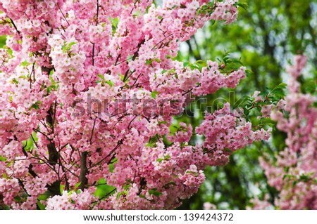 pink flowers blossom trees - stock photo
