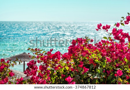 pink flowers bougainvillea on a background of blue sea - stock photo