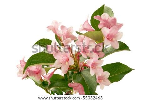 pink flowers f decorative shrub - stock photo