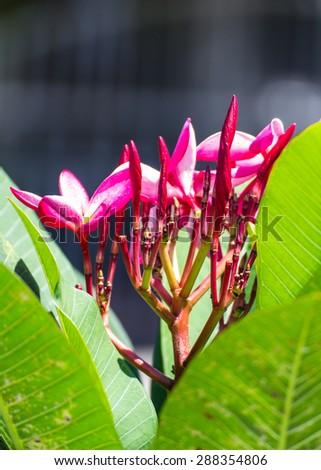 pink flowers frangipani (plumeria) - stock photo