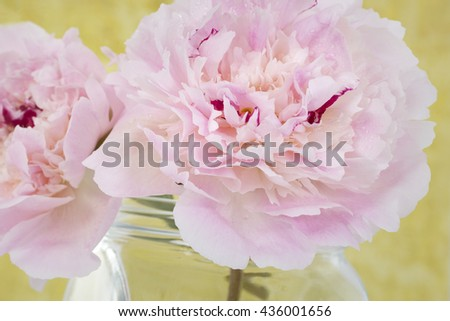 Pink Flowers in a glass vase, isolated against yellow