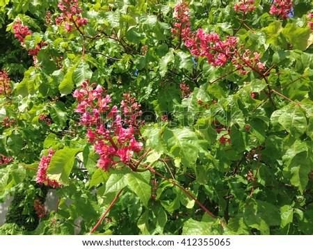 Pink flowers horse chestnut tree full stock photo edit now pink flowers of horse chestnut tree in full bloom in garden mightylinksfo
