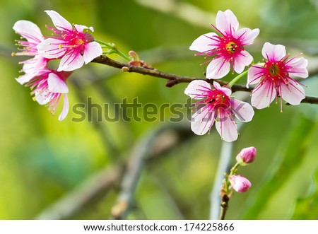 Pink flowers of the cherry blossoms on spring day in the park (Prunus cerasoides)