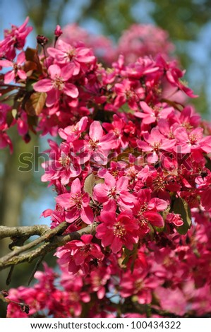 Pink flowers on a tree in Keukenhof park in Holland - stock photo