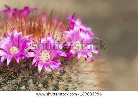 Pink flowers on cactus at green background - stock photo