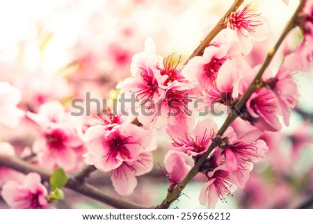 Pink flowers on spring blooming tree branch with sun,vintage effect - stock photo