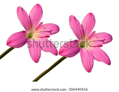 pink flowers on white blackgrounder