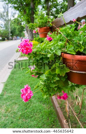 Pink flowers outside in pots in summer geranium