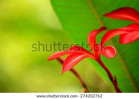 pink frangipani flower  - stock photo