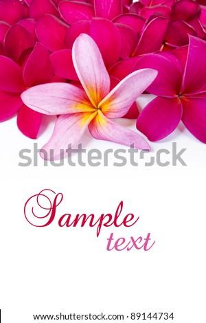 Pink Frangipani flower on white background - stock photo