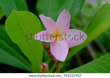 Pink Frangipani flowers with green background.