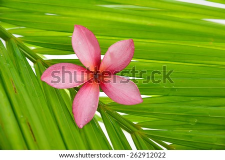 pink frangipani on palm leaf  - stock photo