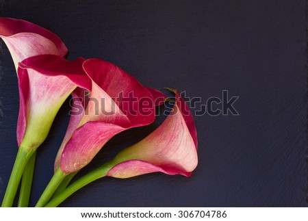 Pink fresh  calla lilly flowers on black  background - stock photo